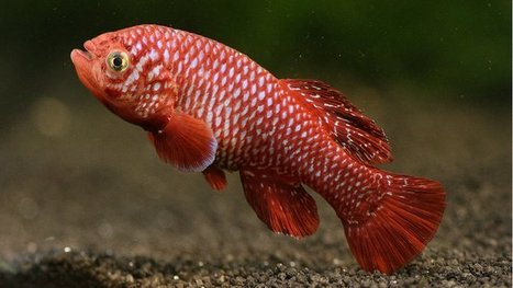 Live fast, die young: African killifish is fastest-maturing vertebrate which reproduces after just 17 days | Amazing Science | Scoop.it