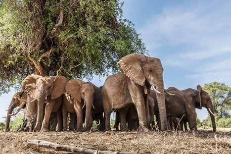 Female Elephants Follow in Their Mothers' Footsteps | Pachyderm Magazine | Scoop.it