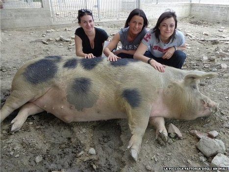 A woman on a mission to save Italy's pigs - bbc.com   Italia Mia   Scoop.it