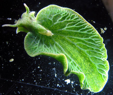 Sea Slug has Taken Genes from the Algae it Eats, Allowing it to Photosynthesize Like a Plant | Weird Science | Scoop.it