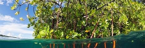 La mangrove, un écosystème remarquable en danger | Les colocs du jardin | Scoop.it
