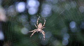 Des scientifiques espagnols multiplient par 10 000 la grosseur de la soie d'araignée | EntomoNews | Scoop.it