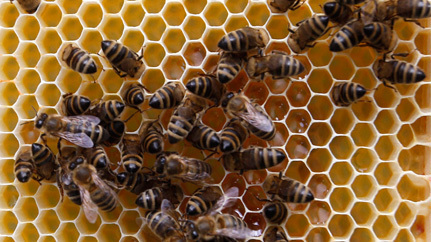 Canada Pest Management Calls for Comments on Protecting Bees from Neonicotinoid Pesticides | Environment & Sustainability | Scoop.it