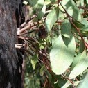 Eucalyptus: California Icon, Fire Hazard and Invasive Species | Invasive Species | Scoop.it