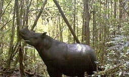 Last #Sumatra #rhino in the US to be sent to #Indonesia to mate, will it help? #extinction | Messenger for mother Earth | Scoop.it