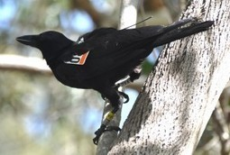 The original Twitter? Tiny electronic tags monitor birds' social networks | All About Science | Scoop.it