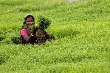 L'arsenic dans le riz associé à des dommages génétiques   Médecine   Alim attention   Scoop.it