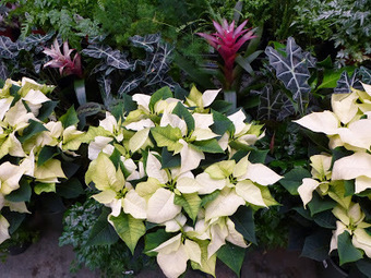 Oldies but goodies, poinsettias remain a holiday fave | The Dirt Diaries | Cottage Gardening | Scoop.it