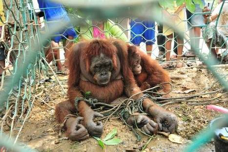 Orangutan Mother Tortured By Villagers For Trying To Feed Baby | Nature Animals humankind | Scoop.it