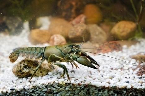 Uutiset Turusta | Aamuset | Täplärapu kaventaa jokiravun elinmahdollisuuksia | Rapu ja rapurutto, Crayfish and crayfish plague | Scoop.it