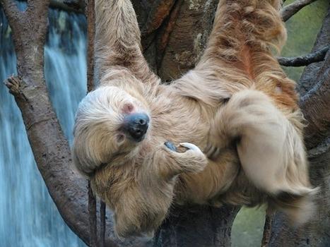 Le paresseux est tellement lent que même sa femme a le temps d'aller voir ailleurs… | GuruMeditation | Nature insolite | Scoop.it