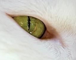 Cat's eye irises don't need brain to adapt to the dark - life - 07 November 2011 - New Scientist | Just Science | Scoop.it