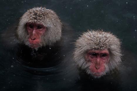 Gorgeous pictures: Snow monkeys bathe in hot springs on frozen ground at Jigokudani Park in Japan | Chronique d'un pays où il ne se passe rien... ou presque ! | Scoop.it