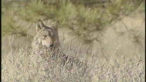 New rules expand roaming area for endangered Mexican gray wolf | GarryRogers Biosphere News | Scoop.it