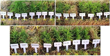 Development of Gene-Pyramid Lines of the Elite Restorer Line, RPHR-1005 Possessing Durable Bacterial Blight and Blast Resistance | Rice Blast | Scoop.it