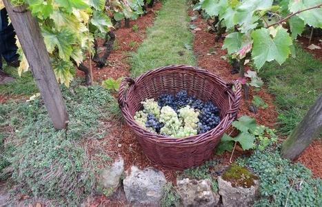 Paris: Vendanges dans la plus petite vigne de France au clos-Montmartre | Le vin quotidien | Scoop.it