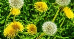 The Bountiful Benefits of Dandelion Greens | Aquaponics & Permaculture | Scoop.it