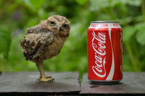 Meet Hercules, the tiny owl with a big personality - Gazette Live | Owls | Scoop.it
