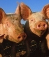 Flu vaccine backfires in pigs | Virology and Bioinformatics from Virology.ca | Scoop.it