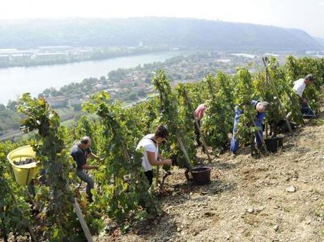 The syrah grape is queen in the Crozes-Hermitage | Vitabella Wine Daily Gossip | Scoop.it