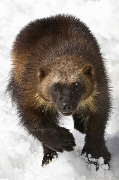 Last 250-300 Wolverines in Lower-48 Denied Protection | Defenders of Wildlife | GarryRogers NatCon News | Scoop.it