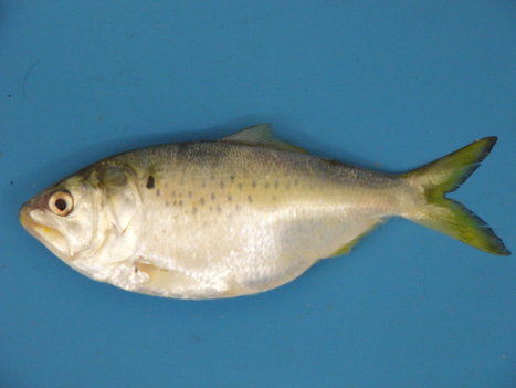 A Stinky Artificial Bait Could Protect Millions of Tiny Fish | Aquaculture Directory | Scoop.it