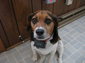 Shock Collars: The Shocking Truth | P.A.W.S Providing Animals With Support | Scoop.it