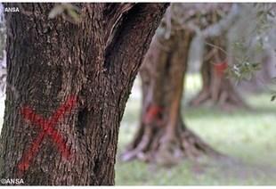 Salento: una Via Crucis tra gli ulivi malati | #chicercate | Scoop.it