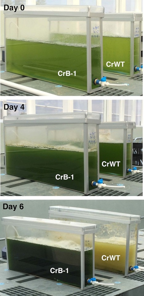 A platform for the effective management of biological contaminants for the production of microalgae | Plant Molecular Farming | Scoop.it