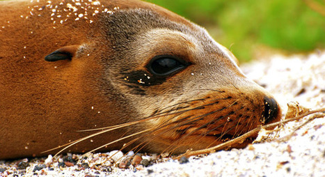 Sea lion pups starved this year in the waters off California - OnEarth Magazine | Environmental Education - Domoic Acid | Scoop.it