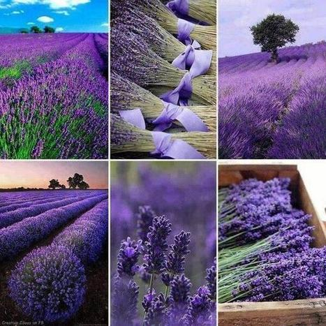 Twitter / StoryOfEarth: Lavender fields in Provence, ...   binNotes France - Wine & Culture   Scoop.it