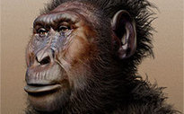 Biology of early human relative uncovered - Phys.org | Biology VCE | Scoop.it