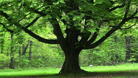 Free Shade Trees for North Texas Oncor Customers   Energy Saving Trees   Scoop.it