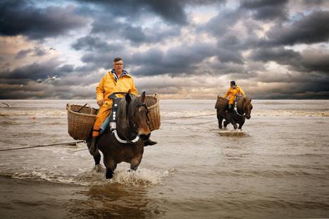 Les pêcheurs de crevettes à cheval : une tradition ancestrale unique au monde | Belgitude | Scoop.it