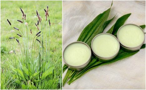 How to Make a Simple Healing Plantain Salve For Burns, Bites, Eczema & More | Raw Edible Organic Skin Care | Scoop.it