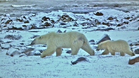Polar Bears Shut Down Halloween in Northern Canada Community | Heath's Show Prep Page | Scoop.it