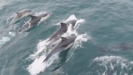Dolphin superpod sight 'spectacular'   Help Save Our Beautiful Bees and Wildlife.Together we can make a difference.   Scoop.it