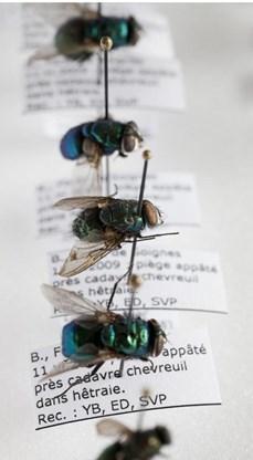 Une base de données d'ADN de mouches pour résoudre plus rapidement des meurtres | EntomoNews | Scoop.it