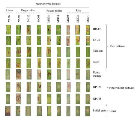 Genome-Wide Comparison of  Magnaporthe  Species Reveals a Host-Specific Pattern of Secretory Proteins and Transposable Elements   Rice Blast   Scoop.it