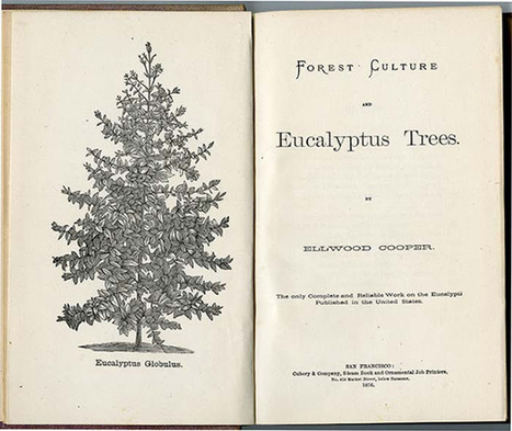 California Historical Society: The Eucalyptus in California | Australian Plants on the Web | Scoop.it