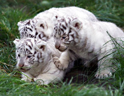 Adorable: Rare white tiger cubs born in Japan | Cats Cat History | Scoop.it