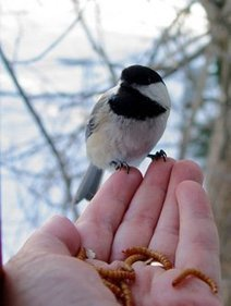 Offering mealworms in winter will bring chickadees up to a window, maybe into the hand - BirdWatching Field of View - BirdWatching Magazine: birdwatching hotspots, bird identification, bird photos,... | Birds and Birding | Scoop.it