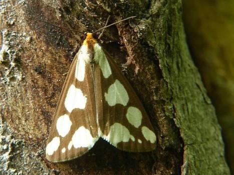 Photo de Papilon : Arctiide nuancé - Haploa de Lyman - Haploa confusa - Lyman haploa | Fauna Free Pics - Public Domain - Photos gratuites d'animaux | Scoop.it