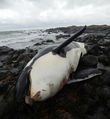 Grande-Bretagne : l'unique population d'orques résidente proche de l'extinction | Zones humides - Ramsar - Océans | Scoop.it