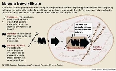 Stanford bioengineering lab builds molecular 'switch' to reprogram control pathways in cells   SynBioFromLeukipposInstitute   Scoop.it