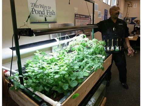 San Jacinto School: Fish aren't just food; they help make it, too! | Aquaponics in Action | Scoop.it