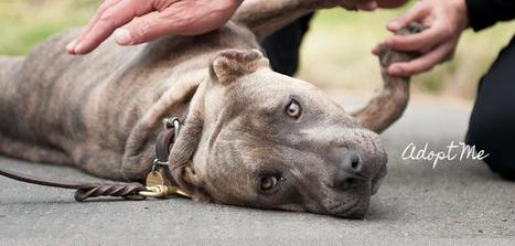 Home | BAD RAP | Pit Bulls and Dog Training | Scoop.it