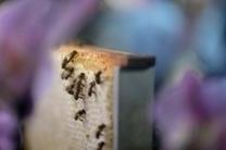 Abeilles ou têtards fluorescents, les nouvelles «vigies» de la pollution | Chuchoteuse d'Alternatives | Scoop.it