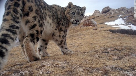 Snow leopards: Big cats on the roof of the world - CNN.com | Conservation Success | Scoop.it