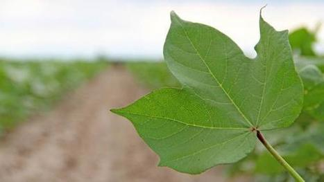 Battling bollworm a cotton world away | Western Farm Press | CALS in the News | Scoop.it